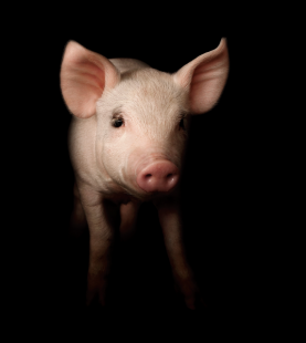 Professional Pig Farmer