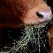 Profesjonalna technologia ŻYWIENIA bydła mlecznego