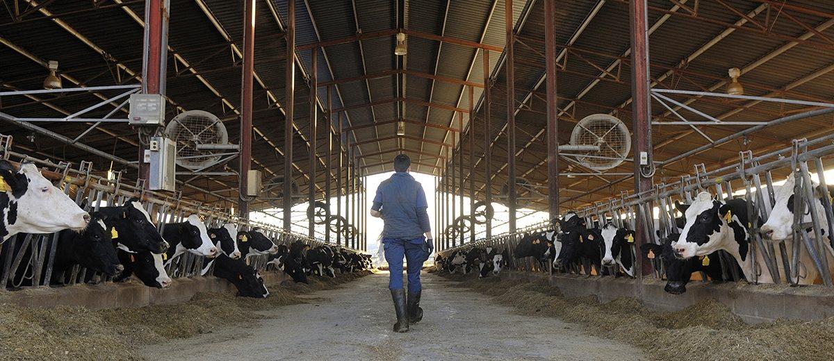 W jaki sposób żywienie wpływa na rozród krów?